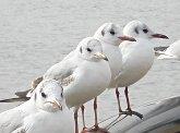 手賀沼の鳥達(ゆりかもめ)