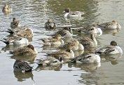 手賀沼の鳥達(カモ達)