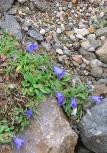 畳平の花畑(イワキキョウ)