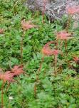 畳平の花畑(チングルマ)