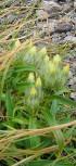 畳平の花畑(トウヤクリンドウ)