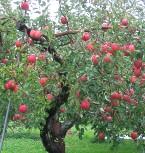 果樹園(りんごのサンフジ)
