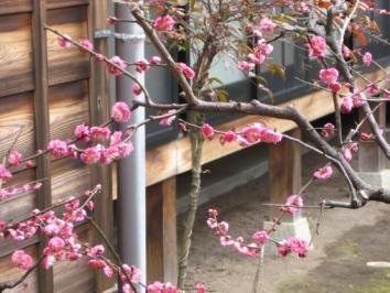 お寺の梅の木
