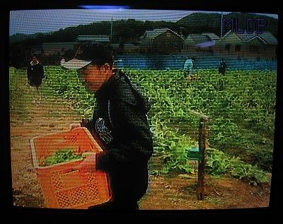 嬉しそうに菜の花運ぶ大原さん.jpg