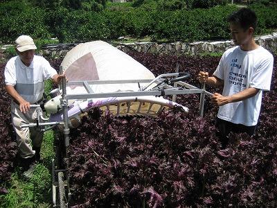紫蘇収穫.jpg