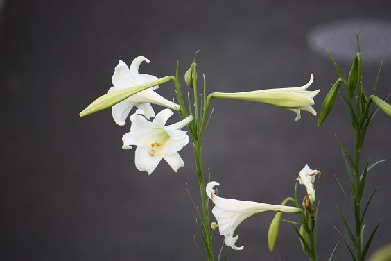 タカサゴユリ 純白の花弁がきれいです
