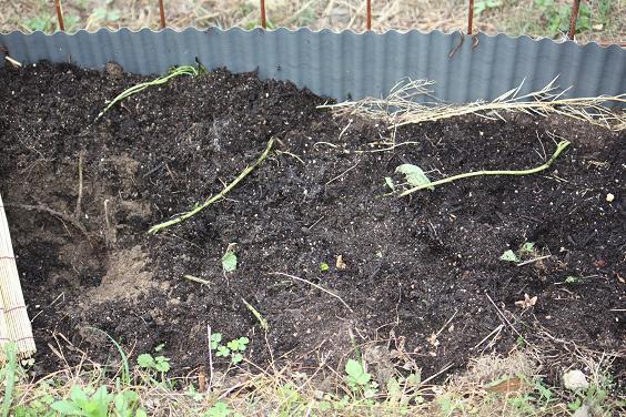 サツマイモの苗の食い荒らし被害