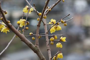 1月のロウバイの花