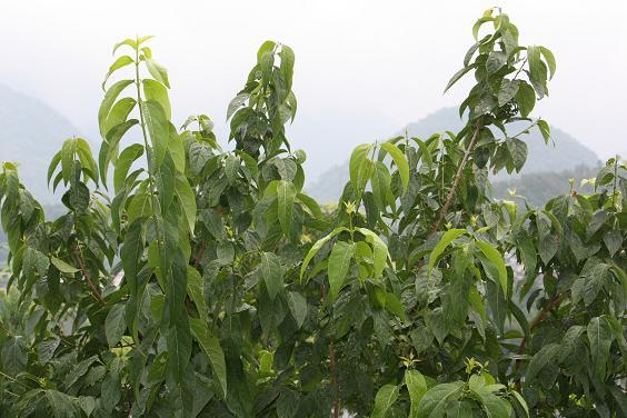 ロウバイの木も梅雨の中・・・・