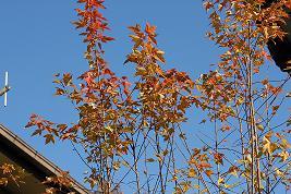 秋のトウカエデ