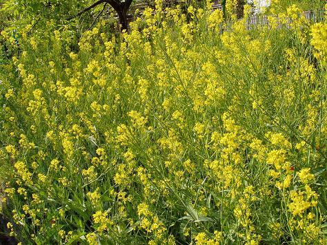 のり面の菜種の花