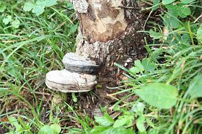 一代目の木の根元にサルノコシカケを見つけました