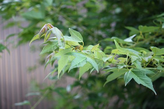 水平に枝を張り出すトウカエデ