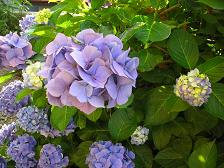 紫色のあじさい