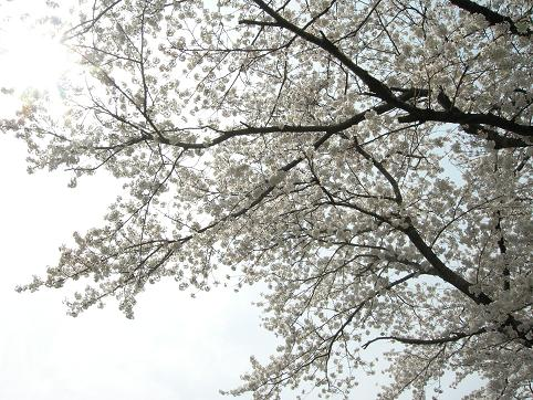 嵐山桜.JPG