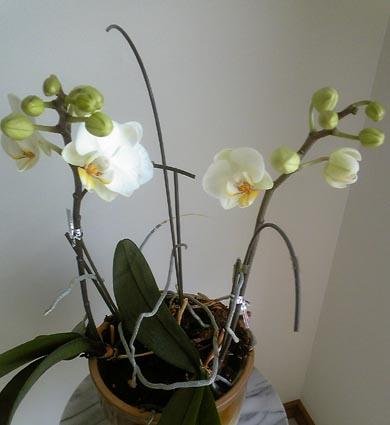 orchidea2011