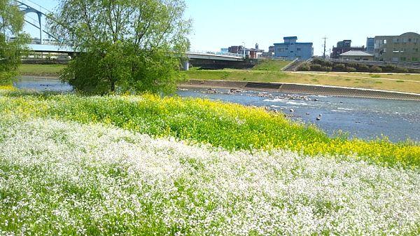ニュースカイ前、白川の春景色