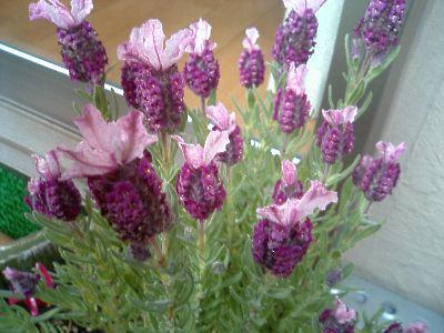 lavender050324