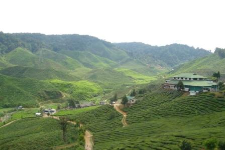 キャメロンハイランド茶畑