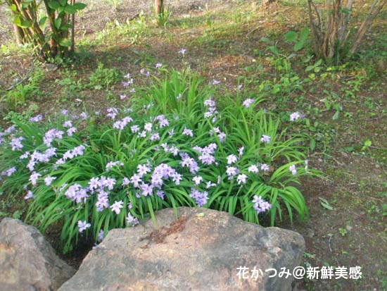 安積山の花かつみ