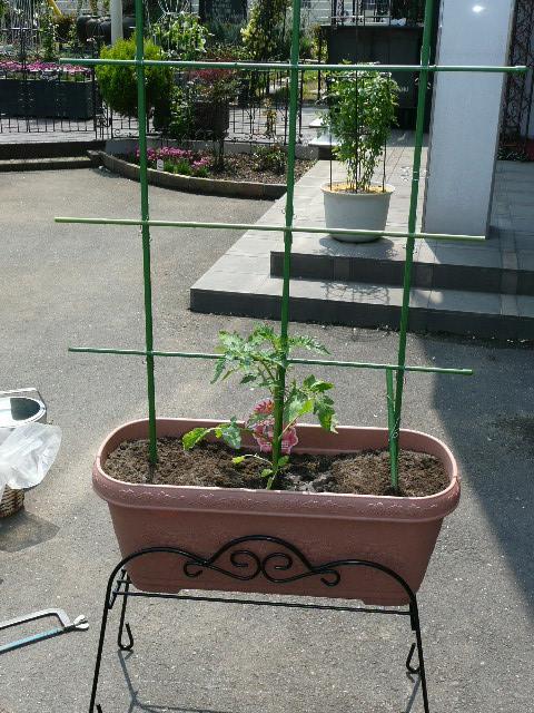 tomatopura.JPG