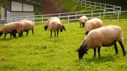 清里羊.jpg