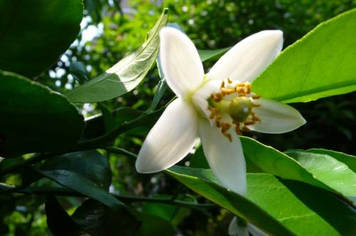 夏蜜柑の花.jpg