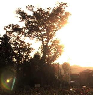 大きな樹~