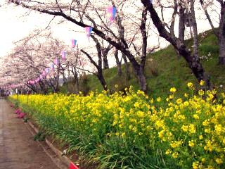 香取神宮・菜の花と桜