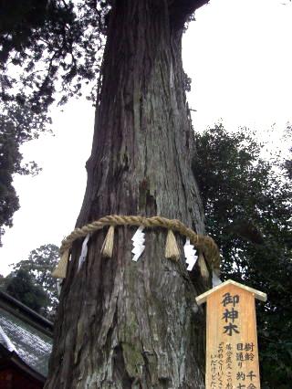 香取神宮・ご神木
