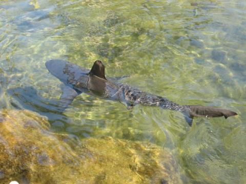 マウナラニの鮫