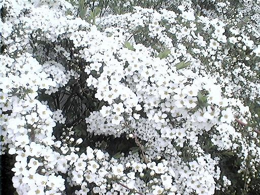 雪柳1.jpg