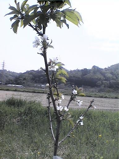 さくらんぼの木.jpg