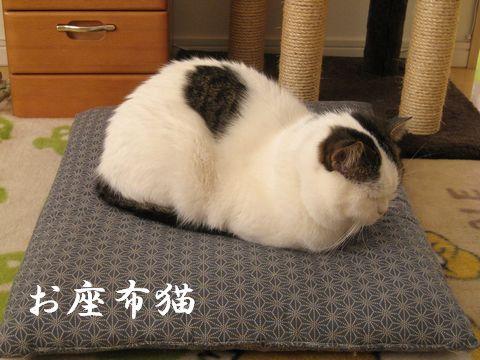 お座布猫でございます