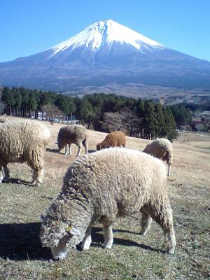 まかいの牧場の羊と富士山