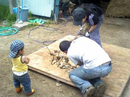 石田めん羊牧場 毛刈り体験 2008.06