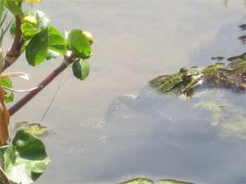 grenouille-1.jpg