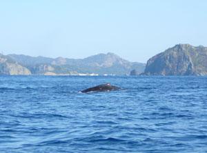 ザトウクジラ 2008