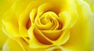s-rose
