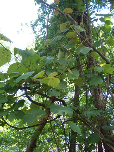 やまぶどうは周辺の木々にからまって生えています。