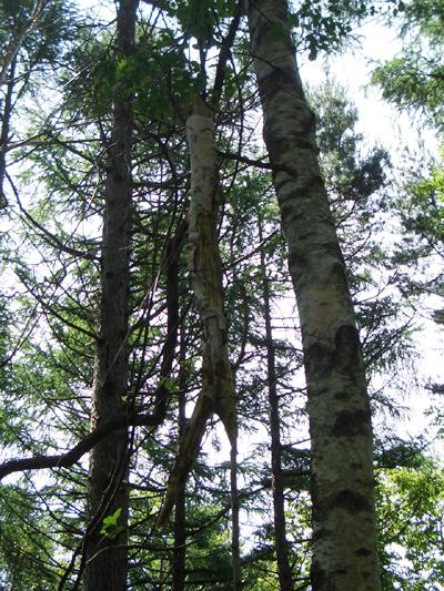 やまぶどうの葉が生い茂って蔓がぐるぐるとからまり、死んでしまった木もあります。