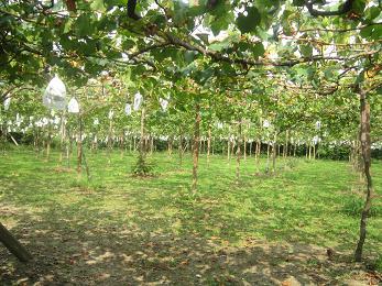 ブドウ園3