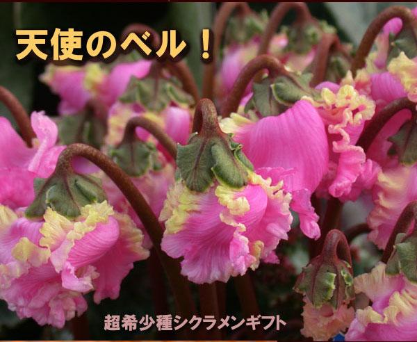 シクラメン【天使のベル】鉢植えギフト