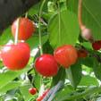 cherry-ssq