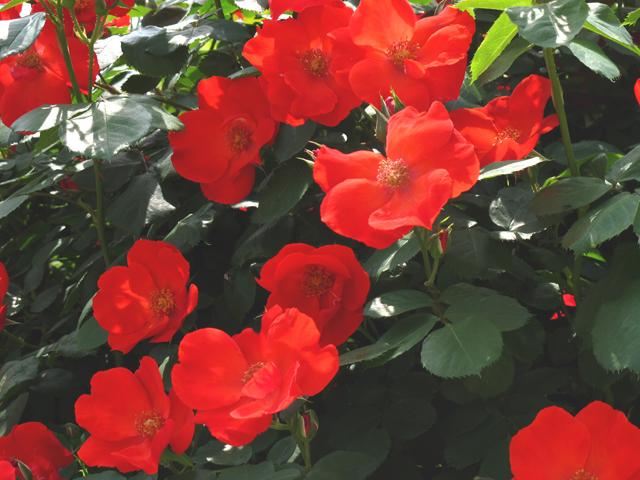 春薔薇☆本郷給水所公苑
