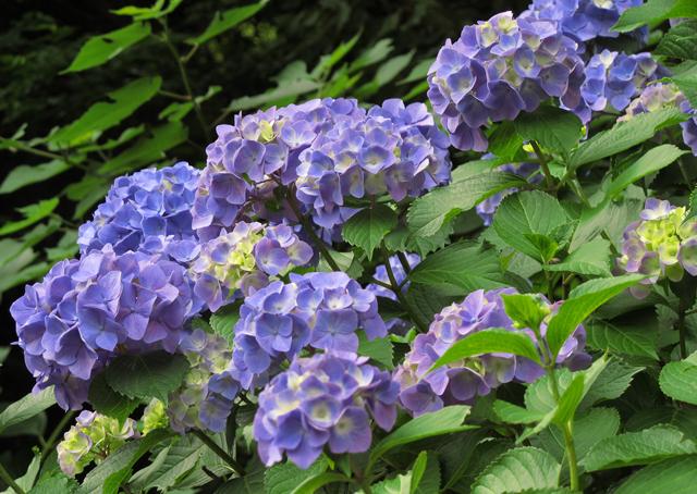 紫陽花☆飛鳥の径