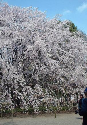 六義園枝垂桜2.jpg