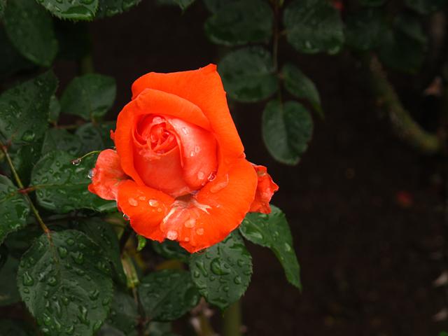 薔薇の雫☆旧古河庭園