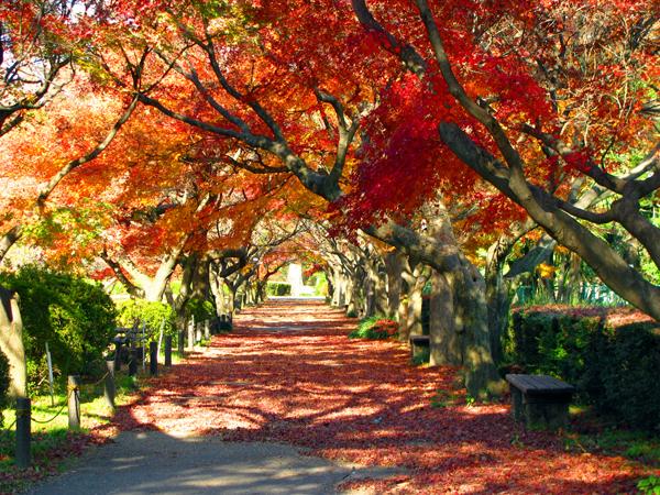 紅葉のトンネル☆小石川植物園