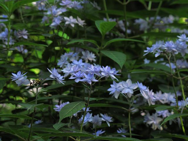 紫陽花☆六義園